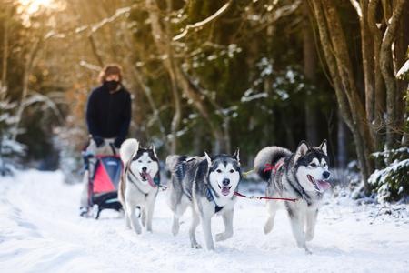 冬のそり犬レースの犬そり旅行者とハスキー
