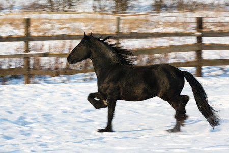 chestnut male: Black frisian horse in the stable at winter time