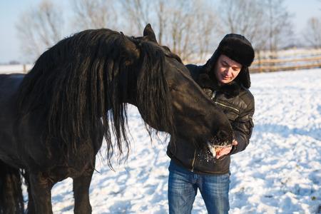 chestnut male: The man feeding frisian horse outdoor in winter