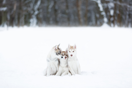 Portrait of a three husky puppies in winter forest Stock Photo