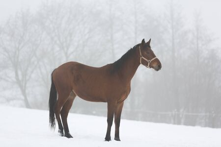 chestnut male: Horse standing on the meadow in winter fog