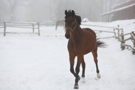 chestnut male: Horse running in the stable in winter fog