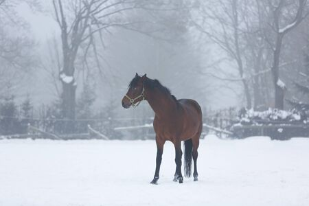 chestnut male: Horse standing in the stable in winter fog