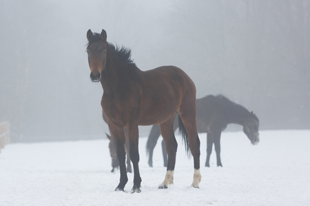 chestnut male: Herd of horses on the meadow in winter fog Stock Photo