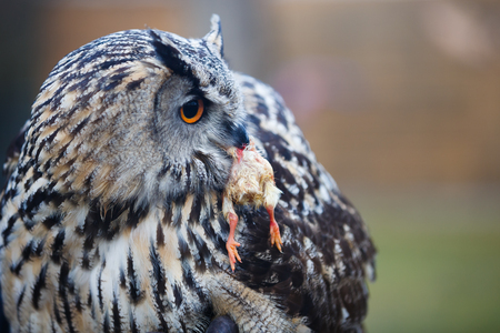 Owl with prey in its beak close up