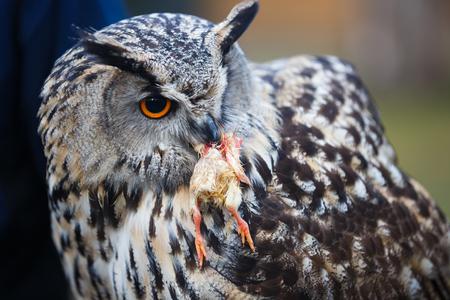 beak: Owl with prey in its beak close up