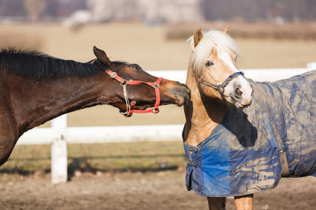 frisky: Horses playing in manege at spring sunny day outdoor Stock Photo