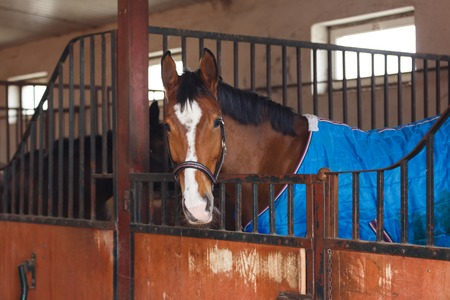 blanket horse: Horse wearing a blue blanket at the stable