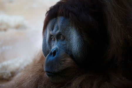 hairy arms: The face of adult orangutan lying on the ground