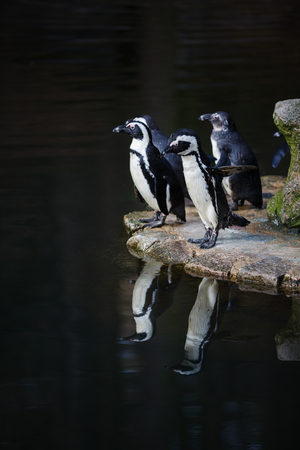 preening: Penguins preening its feathers nearby the water