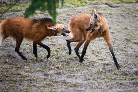 wolf couple: Two bickering red wolves in a forest