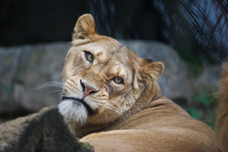 discontented: Portrait of the discontented lioness close up