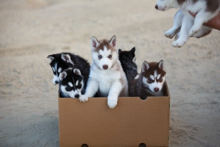 adds: Woman adds another one puppy in a box with puppies