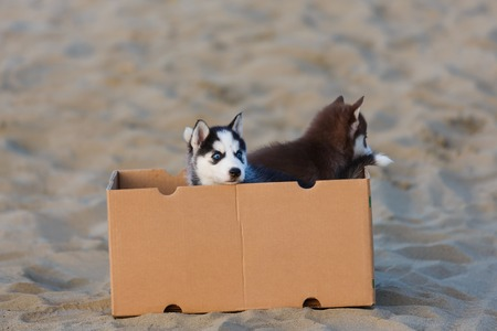 Two husky puppies inside the box at summer time Stock Photo