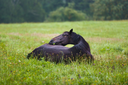 warmblood: Black horse lying on grass, summer time