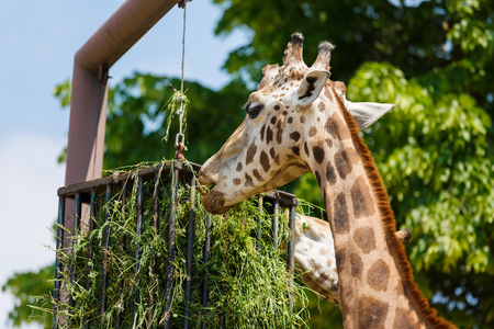 natura: Giraffes are feeding at the Park Natura Viva, spring time