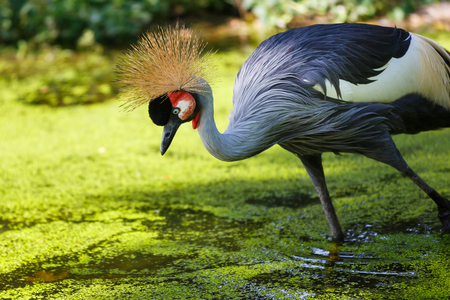 Beautiful crowned crane walking in a water