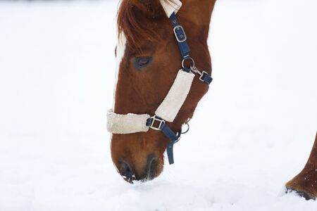 Head of horse close up in winter