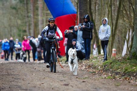 ardor: Kaliningrad, Russia - March 25 2017: Dryland sled dog races during the International competition Yantarnaya Shleika 2 in a spring forest