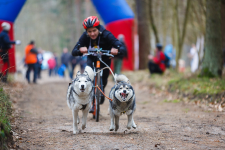 Dryland sled dog races during the International competition Yantarnaya Shleika 2 in a spring forest Stock Photo