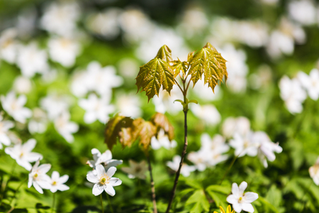 The glade of wild flowers close up in the spring forest