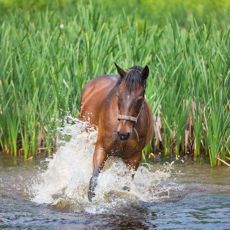 Horse is swimming in a pond in summer Stock Photo