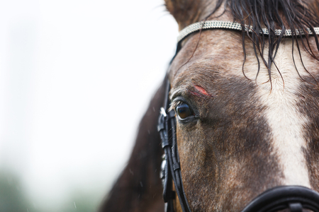 The wound on the forehead of a horse close-up