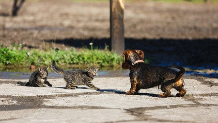 Confrontation of a kitten and a dog in the countryside Standard-Bild