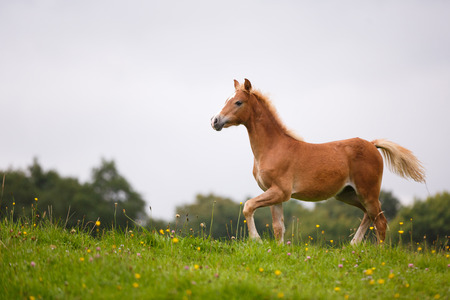 The foal is running on the meadow in summer