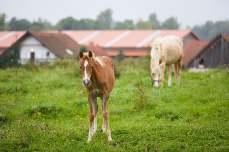 Foal with her mother on the meadow in summer Reklamní fotografie