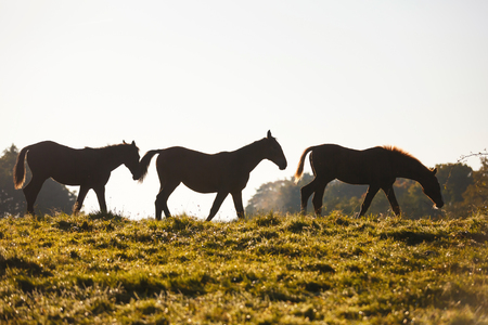 Horses on the meadow in morning sunlight