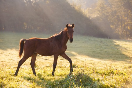 The foal on the meadow in morning sunlight