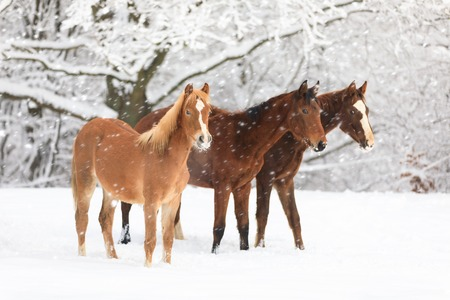 Cute foals on snow-covered meadow Banque d'images