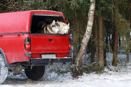 Two huskies in the trunk of an SUV, winter time Archivio Fotografico - 97205098