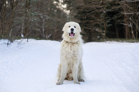 Pyrenean Mountain Dog in winter forest