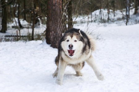 Evil malamute dog in the winter forest