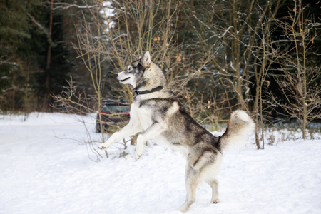 Husky dog is standing on its hind legs in the winter forest Stock Photo