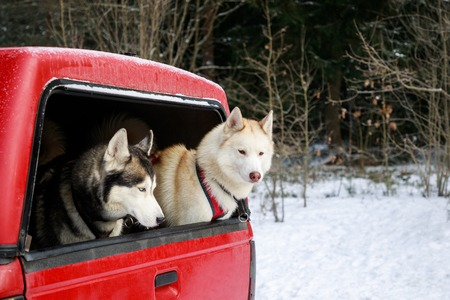 Two huskies in the trunk of an SUV, winter time