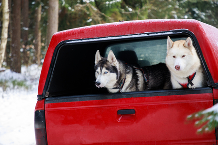 Two huskies in the trunk of an SUV, winter time Archivio Fotografico - 97208864