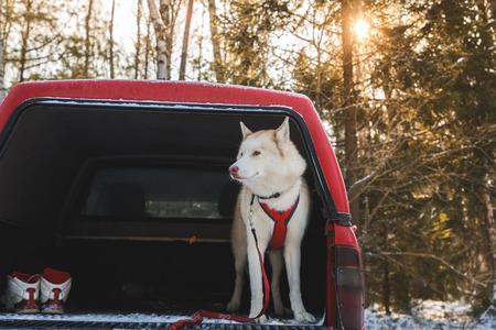 Husky in the trunk of an SUV, winter time Stock Photo