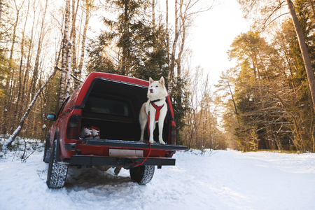 Husky in the trunk of an SUV, winter time 版權商用圖片 - 97205119