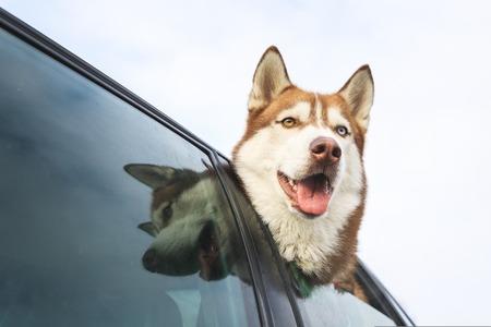 Husky is peeking out of car window Stock Photo