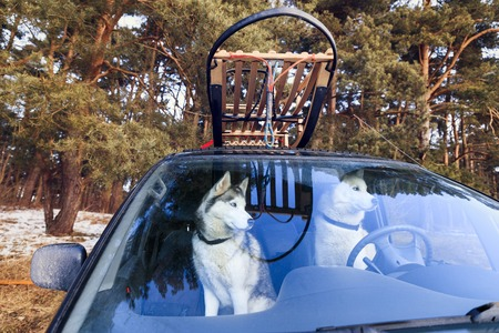 Dogs sled in the car, view through glass Stock Photo