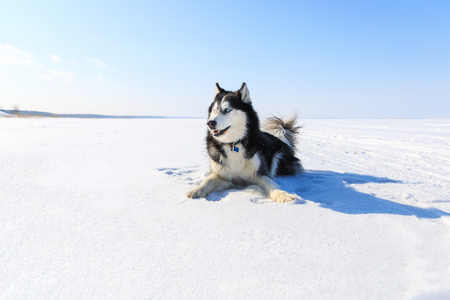 Sled dog on the frozen bay in winter