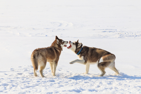 Two sled dogs are playing on the frozen bay in winter