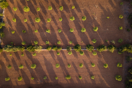 Aerial: Field of trees in Mallorca, Spain