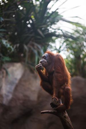 Orangutan is resting on the log