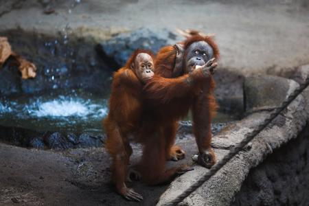 Orangutan female with a cub on her back