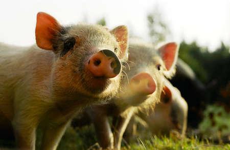 Group of little happy pigs on the farm Reklamní fotografie - 5274067