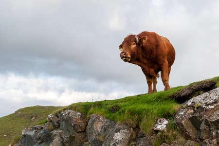 skye: Wild cow on the rock. Isle of Skye, Scotland. Stock Photo